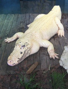 Gatorland has on display venomous snakes, exotic birds, and even rare white (not albino) alligators.