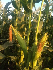 Harvest of hope walk the farm to benefit tohoku farmers for Yamaha music school irvine