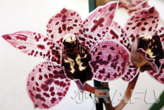 orchid splatter magic