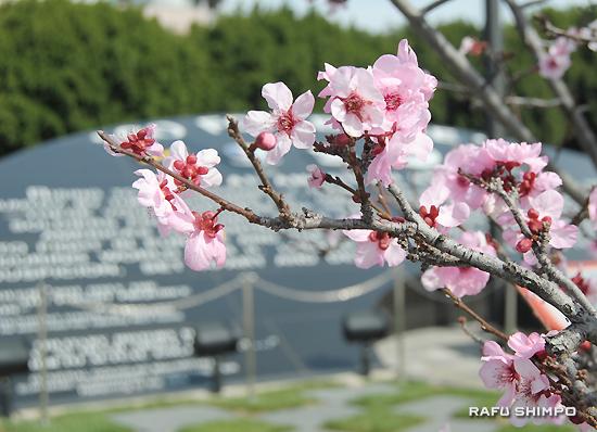 ゴーフォーブローク記念碑の横の梅の花=20日撮影
