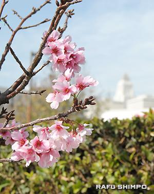 オフィスデポ駐車場の周りに植えられた桜の花=20日撮影