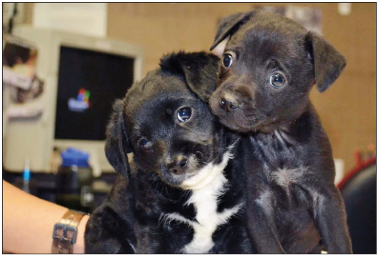Puppies Cupcake and Candy, non-siblings by birth, were cared for by an amazing, abandoned 4-year-old poodle, Dream, who gave birth to two tiny puppies in December, with Cupcake the lone survivor. Both puppies have been adopted. (Courtesy of Helen Woodward Animal Center)