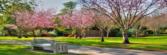 The cherry trees in Central Park, a gift to Huntington Beach from its sister city in Japan, Anjo, in 2002.