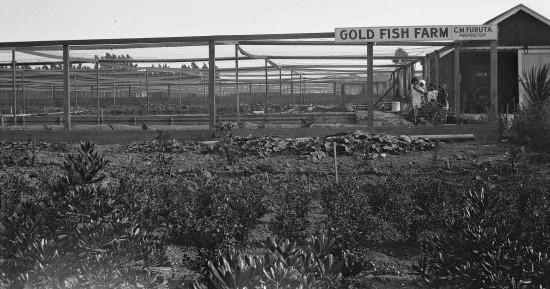 Furuta Goldfish Farm, circa 1928.