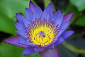 Genie Nakano lotus