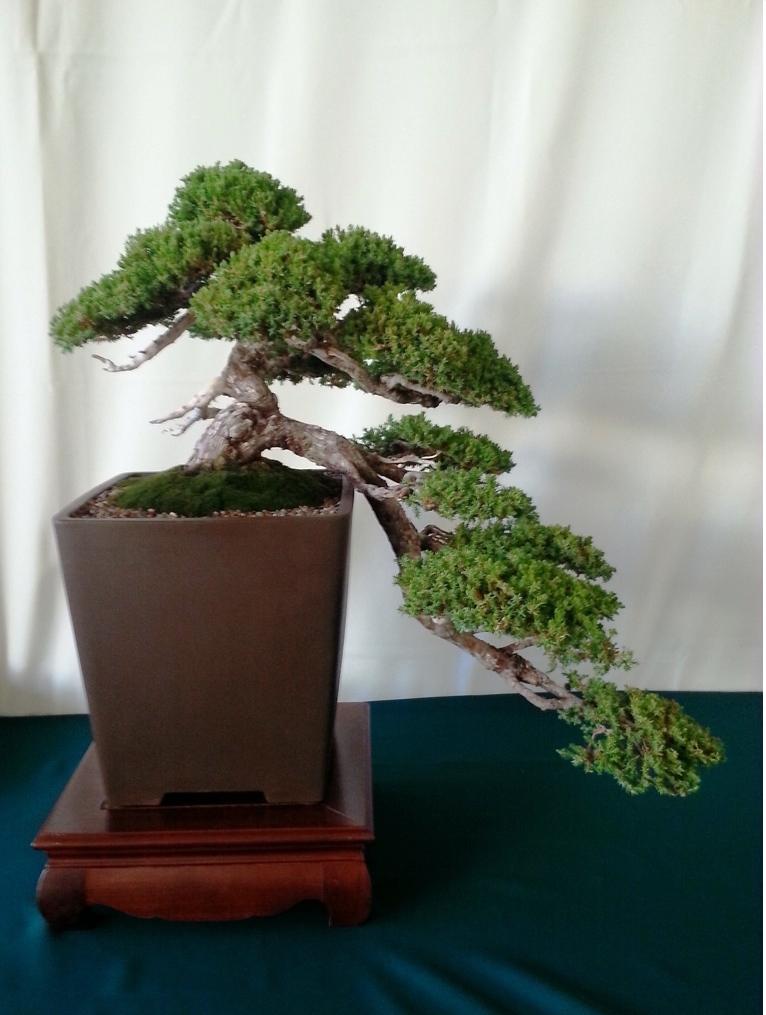 bonsai fest at bowers museum. Black Bedroom Furniture Sets. Home Design Ideas