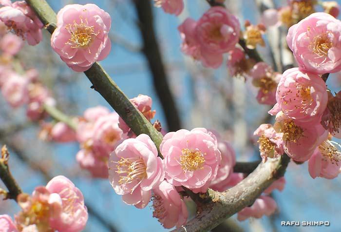 きれいな花を咲かせているシャバラム公園の梅の木