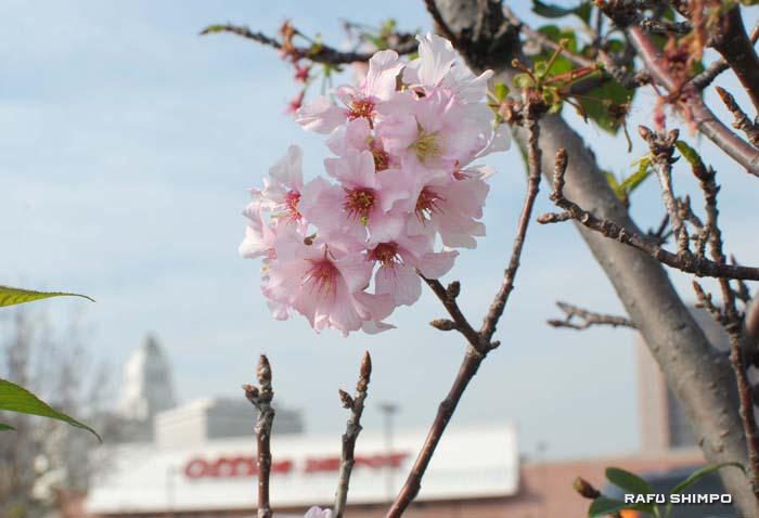 開花し始めたオフィスデポ駐車場前の桜の木(26日撮影)