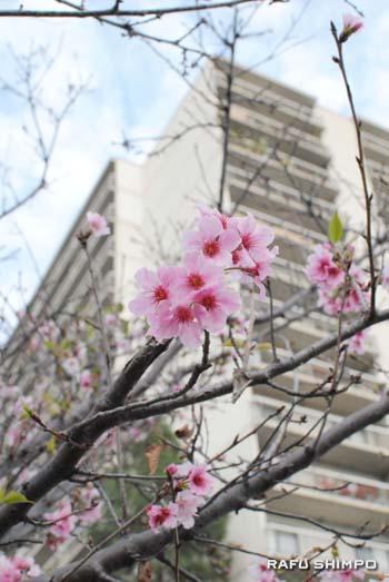 小東京タワーズ前の桜(26日撮影)