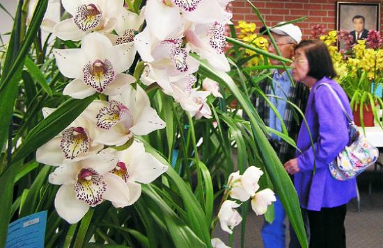 eautiful varieties of cymbidium orchids will be on display at the Gardena Cymbidium Club's annual show at Nakaoka Center in Gardena this weekend.