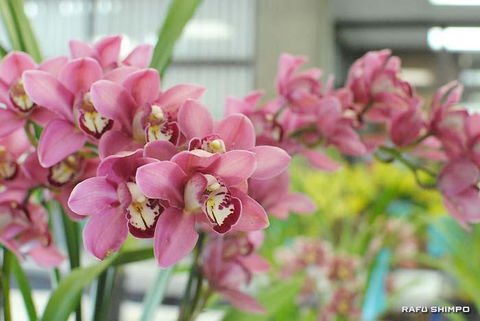 「20年来の不作」の中でも、きれいな花を咲かせる蘭
