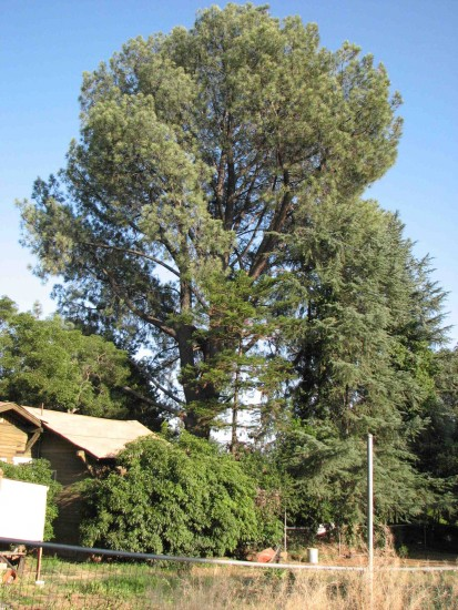 The 120-foot Torrey pine towers over the property.