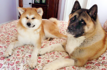 Nabi (left) and Bear represent the Japanese Akita and America Akita breeds. Both breeds will be showcased on the weekend of Feb. 13-14 at Arthur Lee Johnson Memorial Park in Gardena.