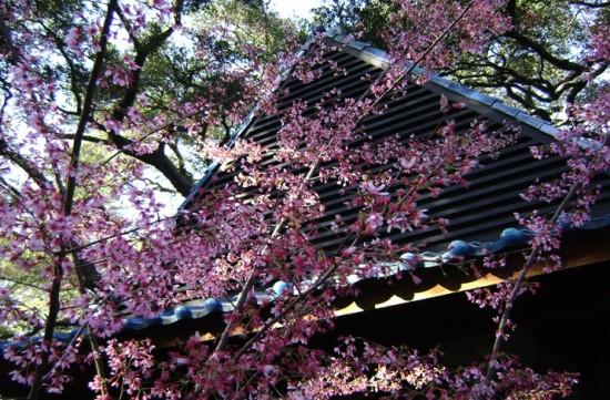 descanso gardens cherry blossom
