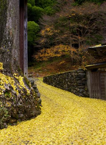 黄色の川のようになっているイチョウの落葉(ギル・ガーセッティー氏提供)