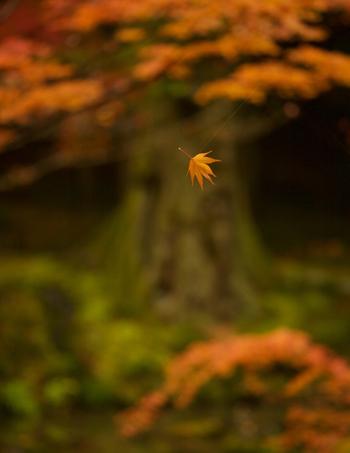蜘蛛の糸で宙に浮いたように空中に漂う紅葉したもみじの葉(ギル・ガーセッティー氏提供)