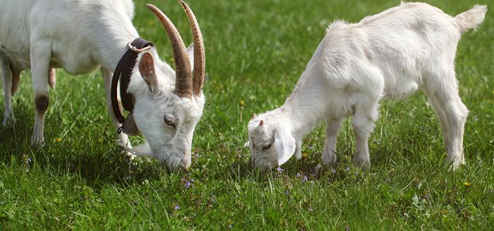 加州各地で山火事多発:被害拡大予防にヤギが貢献