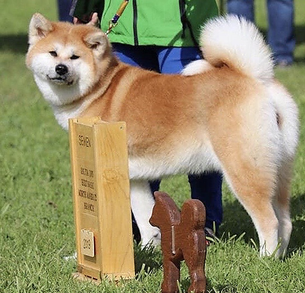Conformation Shows For Japanese Dog Breeds On Feb 8 9 Rafu Shimpo